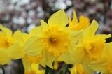 Oxton Children Go DaffodilPlanting