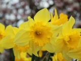 Daffodil Bulb Planting…..click for more info