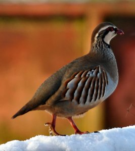 Red-legged Partridge   Juliet Elliott
