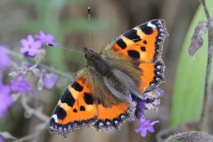 Tortoiseshell butterfly in garden  -  Nicky Teare