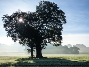 Misty tree on Waterloo Field    Phil Meats